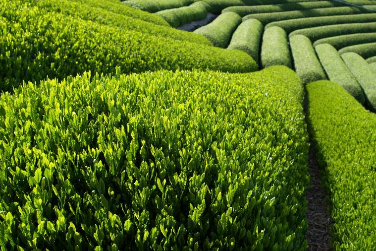zeleni caj